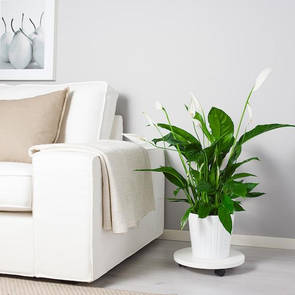 "SPATHIPHYLLUM planta  Cala ""Cupido"" 17 cm 70 cm"