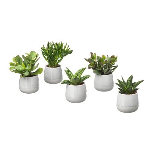 SUCCULENT Planta con maceta Gris 6 cm - IKEA