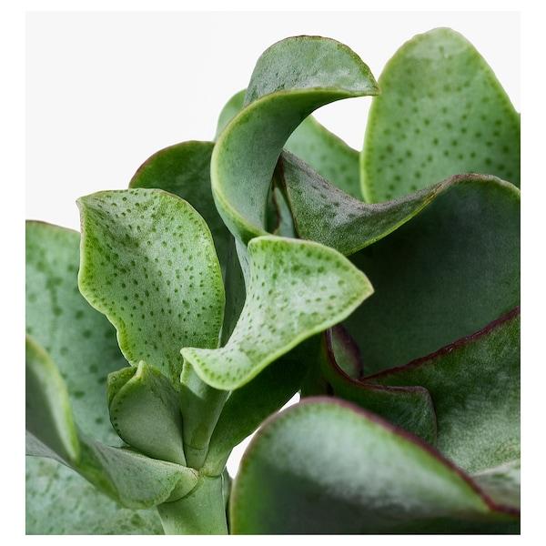 SUCCULENT Planta con maceta, mezcla de especies de plantas, 6 cm 3 unidades