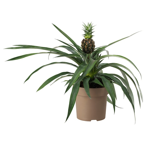 ANANAS Planta, piña, 15 cm