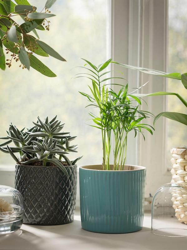 CHAMAEDOREA ELEGANS Planta, palmeira de salón, 9 cm