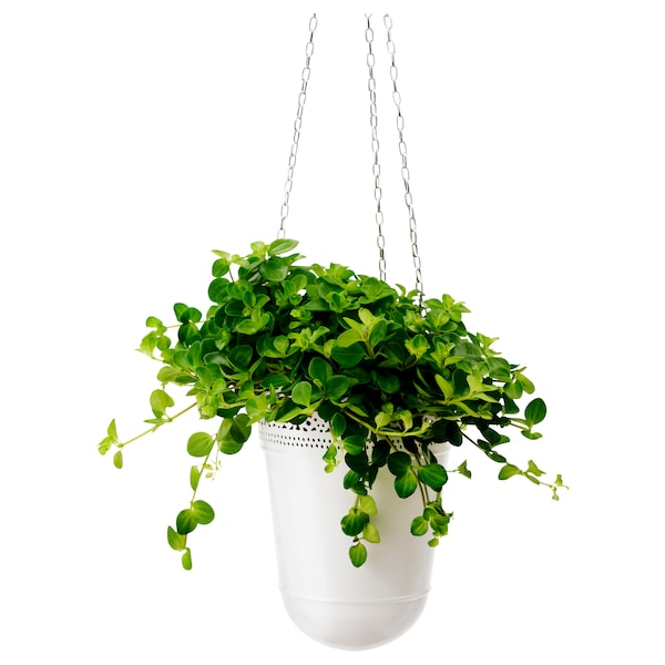 HIMALAYAMIX Planta, mestura de especies de plantas, 12 cm