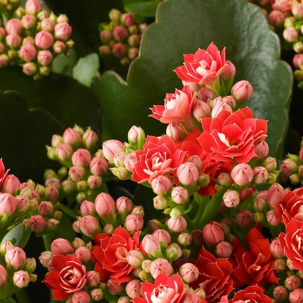 KALANCHOE CALANDIVA Planta, kalanchoe calandiva cores variadas, 9 cm