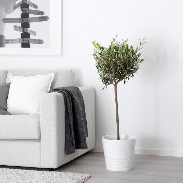OLEA EUROPAEA Planta, oliveira/tronco, 22 cm
