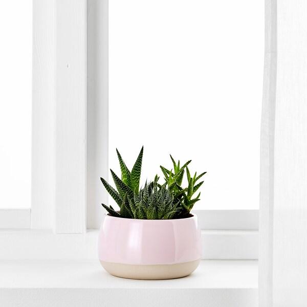 SUCCULENT Planta con testo, rosa, 12 cm