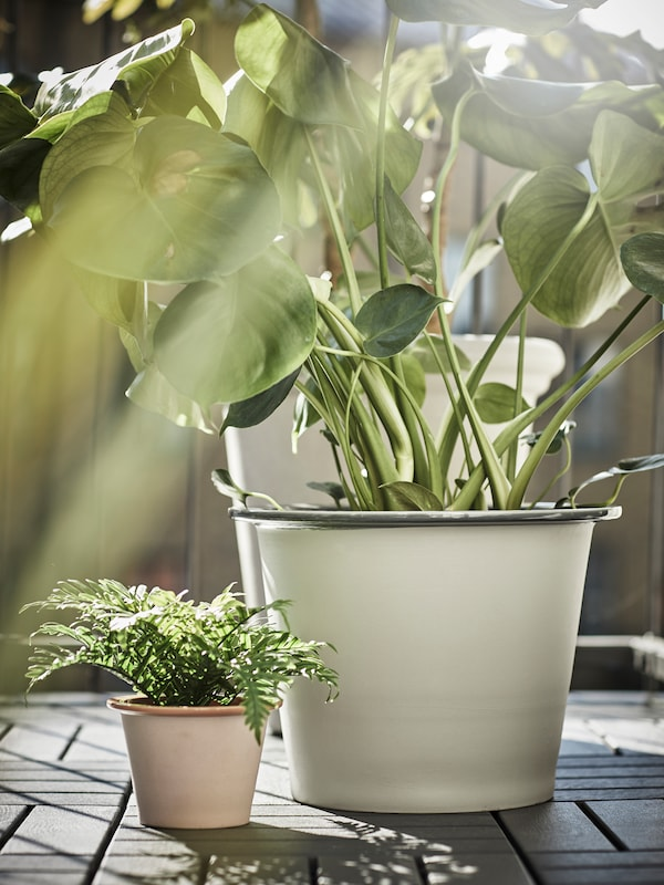 One large and one small plant sitting outside on grey tiled flooring