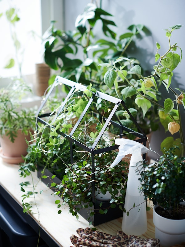 Invernadero decorativo SENAPSKÅL con dos macetas dentro, envueltas con una guirnalda luminosa VISSVASS, entre otras plantas.