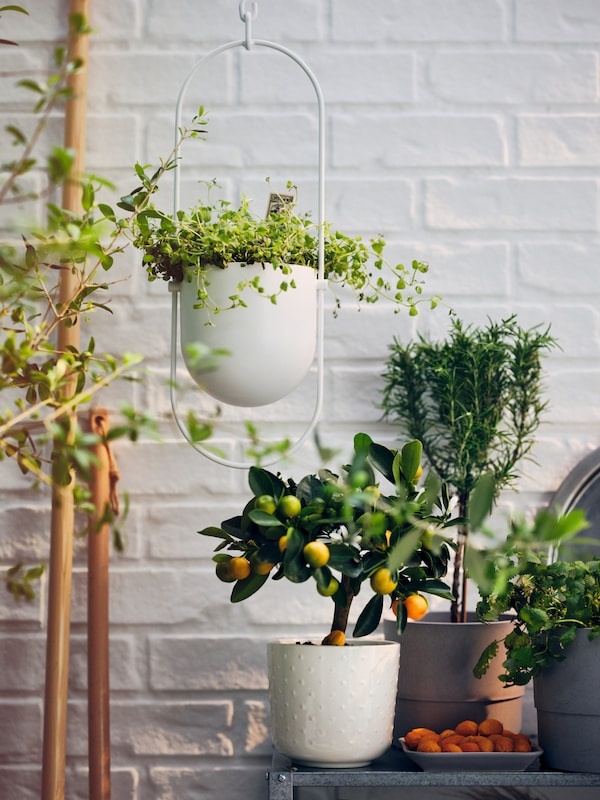 A plant arrangement including a white CHILISTRÅN hang planter and an off-white SESAMFRÖN plant pot by a white brick wall.