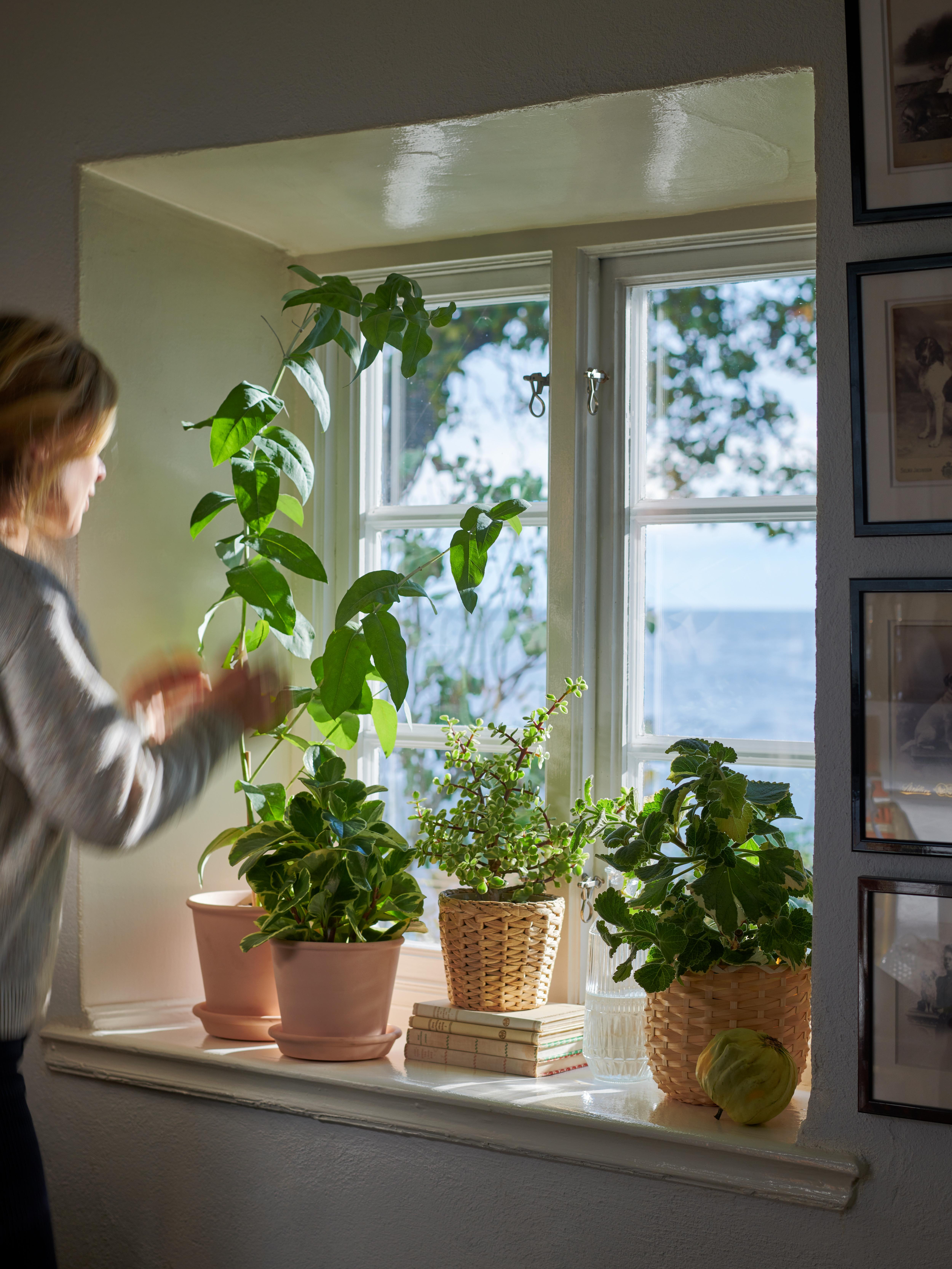 En kvinne pleier å plante, noen satt i MUSKOTBLOMMA plantekrukker, plassert på den solopplyste terskelen i et vindu med utsikt over havet.