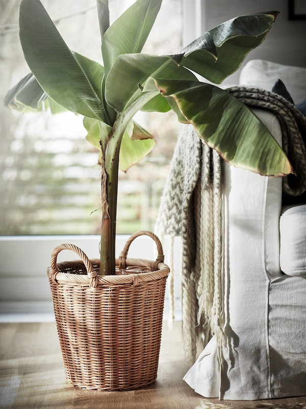 A large plant in a rattan KAKTUSFIKON plant pot beside a sofa with a throw hung on the edge.