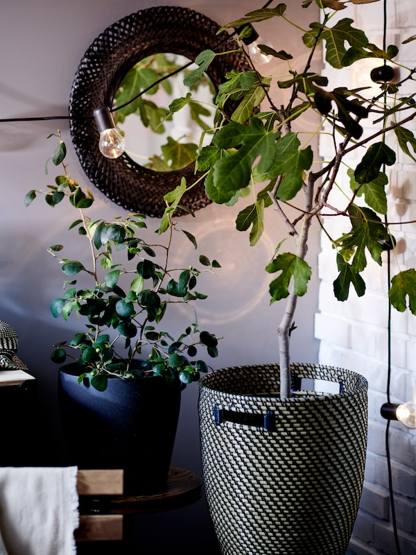 A corner with a fig tree in a RÅGKORN plant pot, a leafy plant in a slightly smaller pot, and a black-frame RISBYGD mirror.