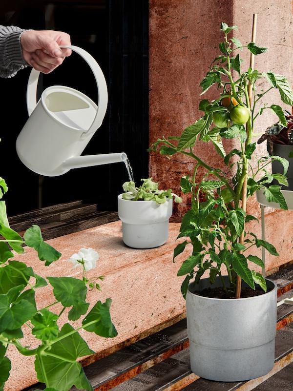 Une main tenant un arrosoir en train d'arroser une plante en pot à l'extérieur, avec deux autres plantes à proximité.