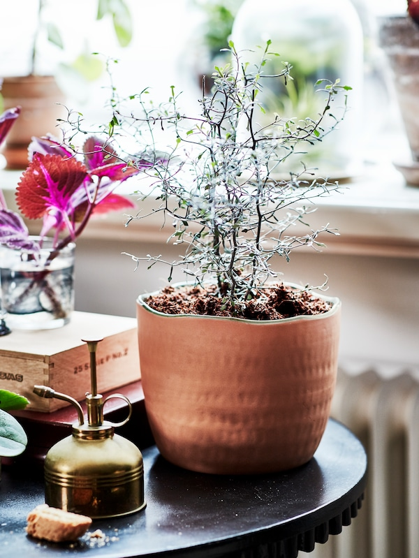 A plant with small green leaves growing in a medium sized terracotta pot. The plant is placed on a black side table.