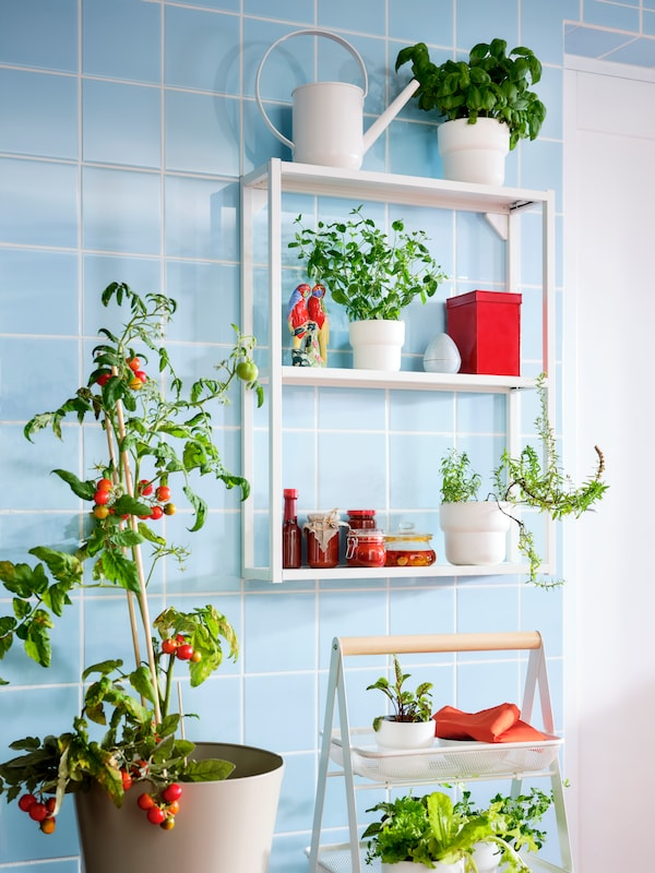 A blue-tiled wall with a white ENHET wall frame with shelves displaying jars, herbs and a watering can beside a tomato plant.