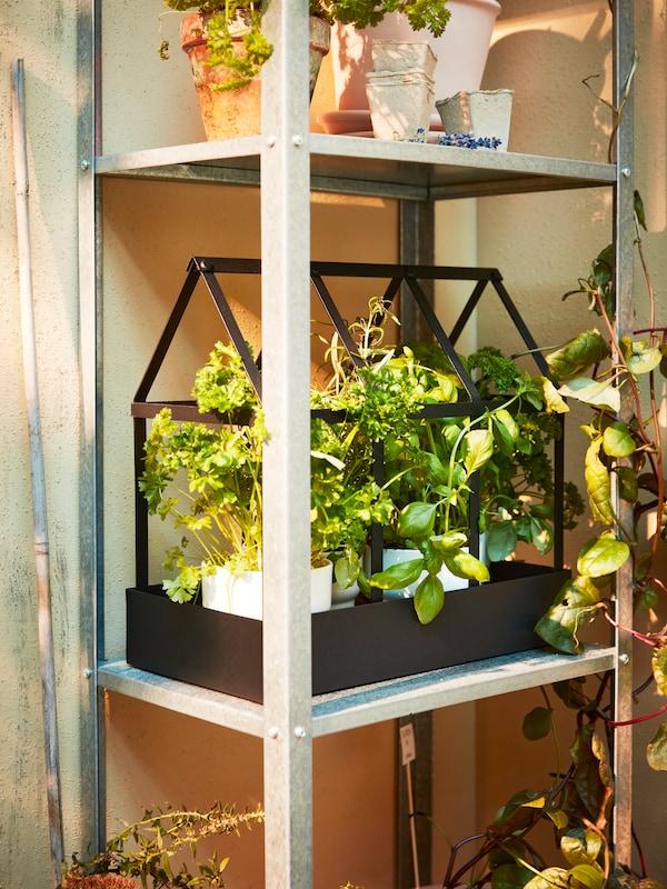Ein Metallregal mit einem schwarzen Gewächshaus, in dem Kräuter und Pflanzen in weissen Übertöpfen zu sehen sind.