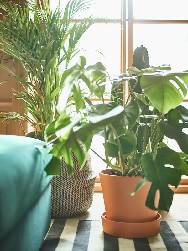 Two green plants in front of a brightly lit window, with an INGEFÄRA plant pot.