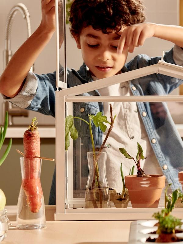 Un garçon observe de jeunes plantes dans une miniserre SOCKER, à proximité de légumes placés dans de l'eau ou de la terre sur la table.