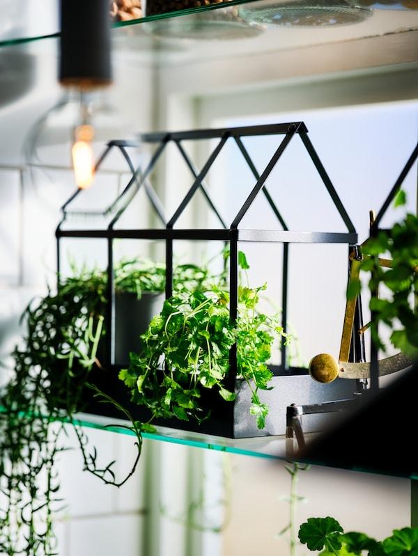 Une serre décorative SENAPSKÅL noire avec des herbes à l'intérieur sur une grande étagère près d'une fenêtre.