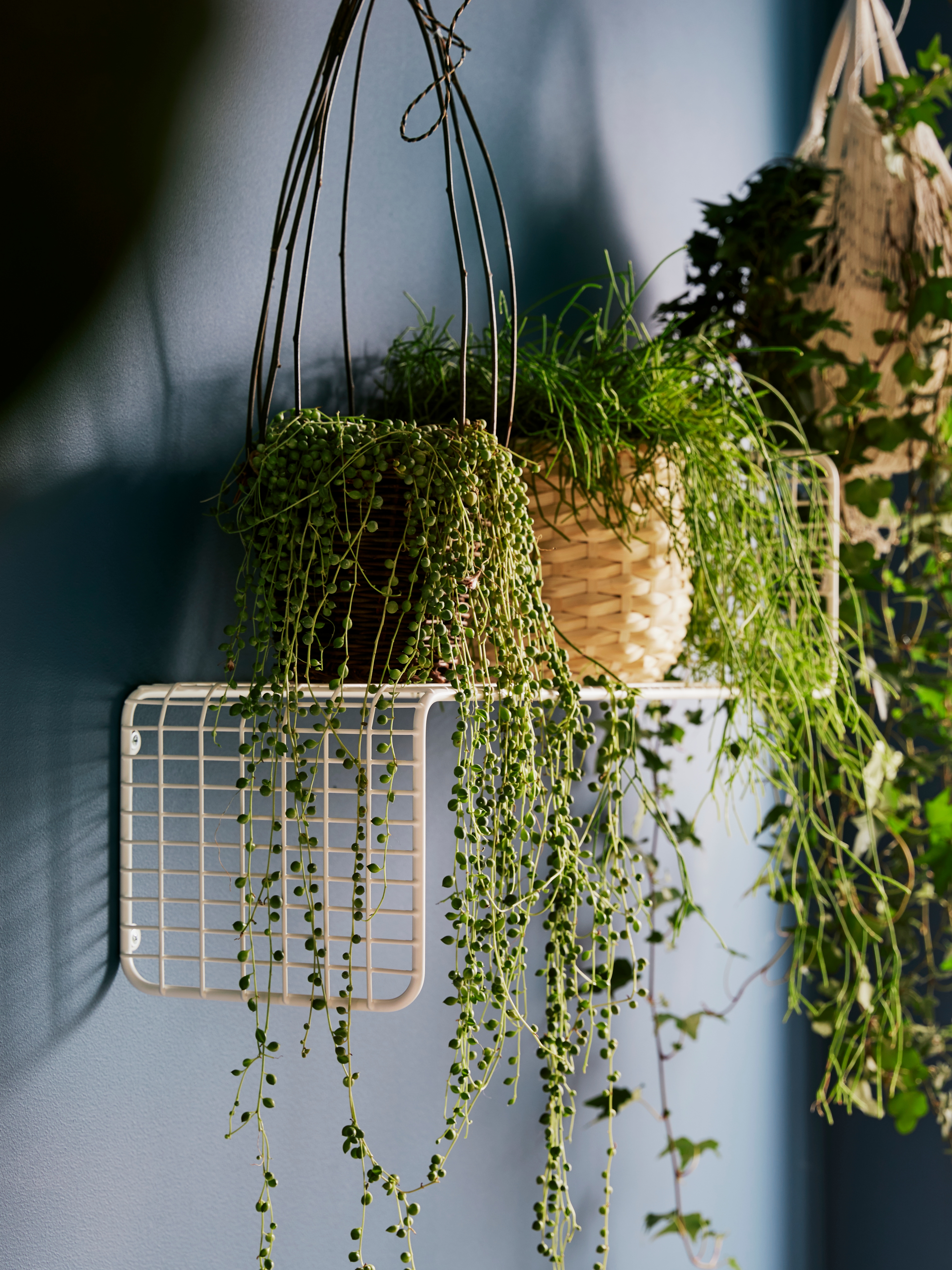 Close-up of a white SVENSHULT wall shelf holding up several trailing plants in a dark grey room.