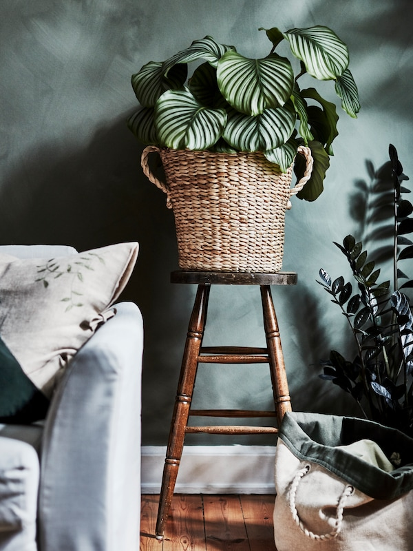 A large, lush green plant inside a pot made of banana fibre standing on a stool in a living room setting.