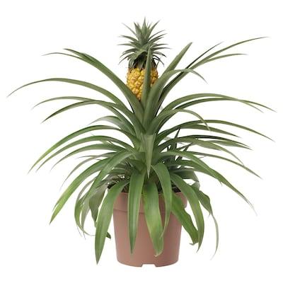 ANANAS ruukkukasvi Ananas 15 cm 45 cm