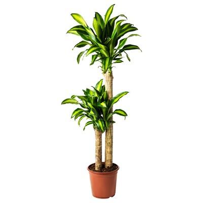 DRACAENA MASSANGEANA Ruukkukasvi, Tuoksutraakkipuu/2-haarainen, 24 cm