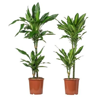 DRACAENA ruukkukasvi sekalaisia lajeja/2-haarainen 19 cm 85 cm