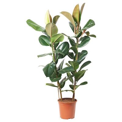 FICUS ELASTICA ROBUSTA Ruukkukasvi, 2-vanainen, 27 cm