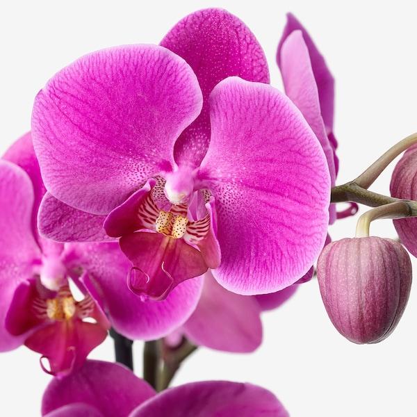 PHALAENOPSIS Ruukkukasvi, Orkidea/kaareva 1-vanainen, 12 cm