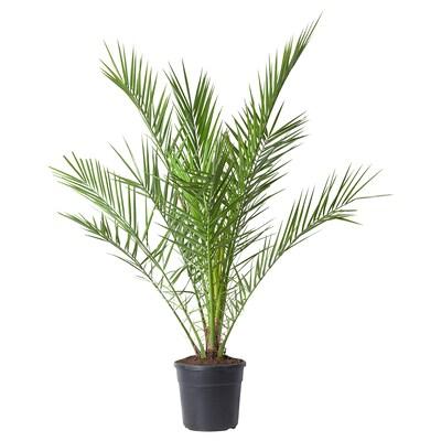 PHOENIX CANARIENSIS Ruukkukasvi, 24 cm