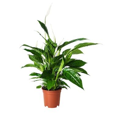 SPATHIPHYLLUM Ruukkukasvi, viirivehka, 17 cm