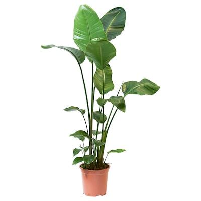 STRELITZIA Ruukkukasvi, Strelitzia nikolai, 27 cm