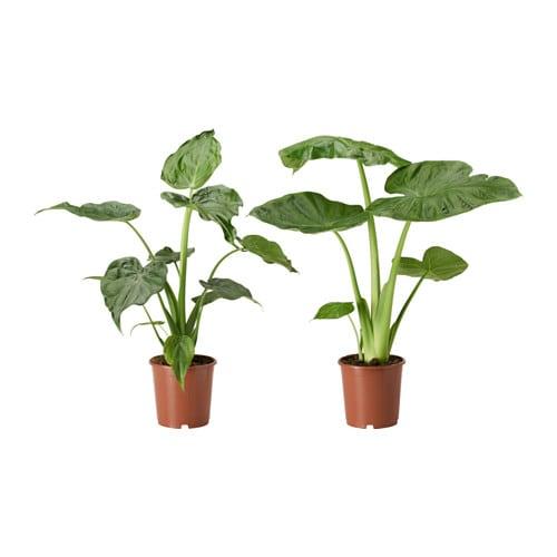 alocasia plante en pot ikea
