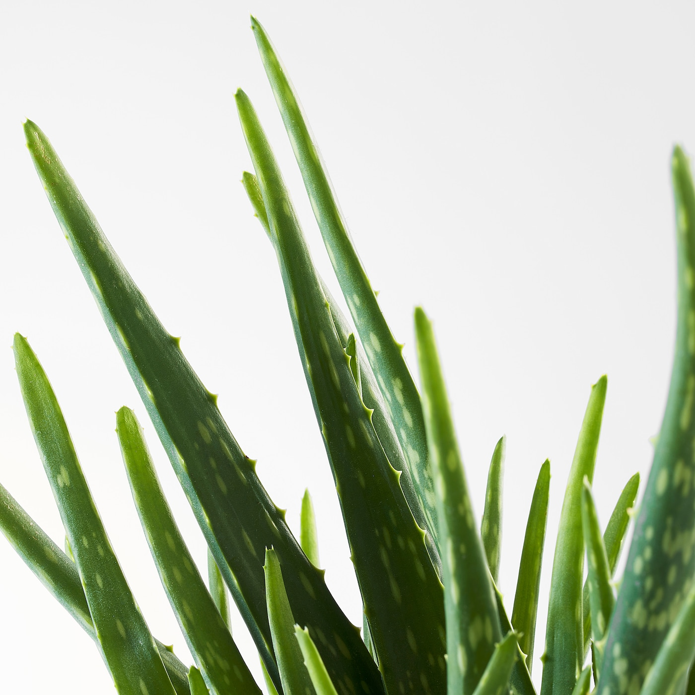 Comment Entretenir Une Plante Aloe Vera aloe vera plante en pot - aloe 12 cm