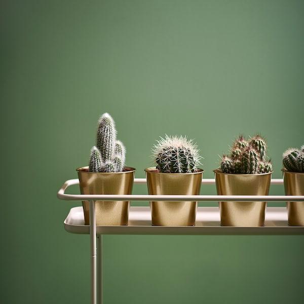 CACTACEAE Plante en pot, diverses espèces, 12 cm