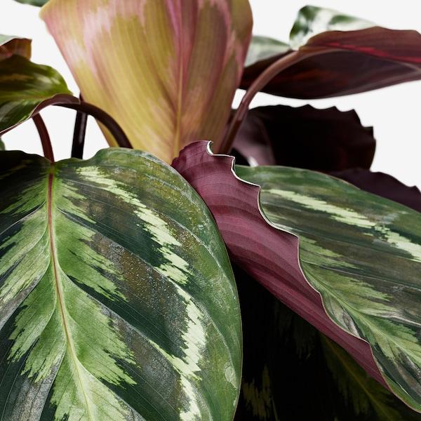 CALATHEA Plante en pot, Calathéa/diverses espèces, 19 cm