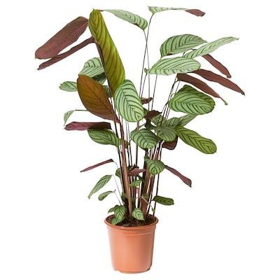 CALATHEA Plante en pot, Calathéa, 24 cm