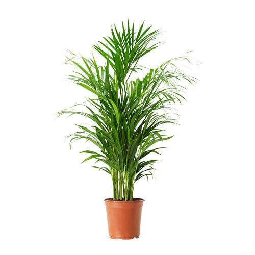 chrysalidocarpus lutescens plante en pot ikea. Black Bedroom Furniture Sets. Home Design Ideas