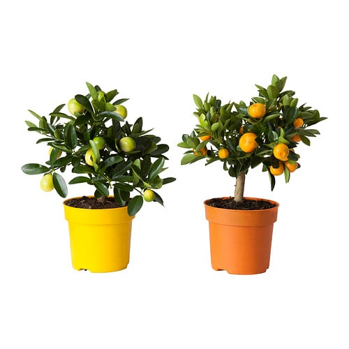 Citrus plante en pot ikea for Ikea plantes