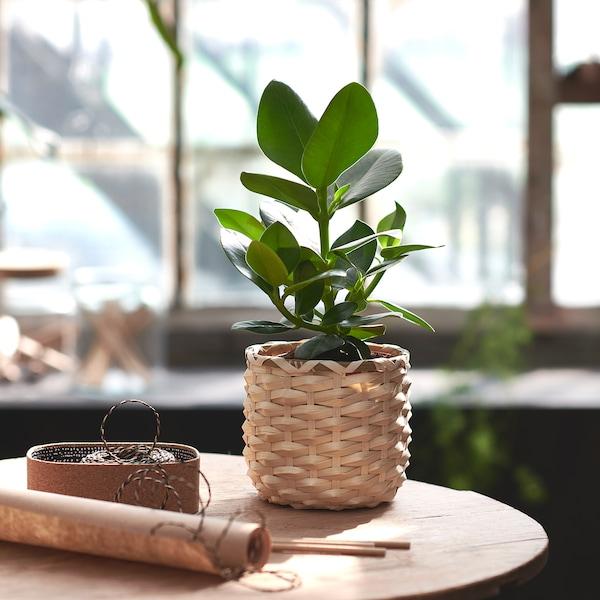 CLUSIA Plante en pot, 12 cm