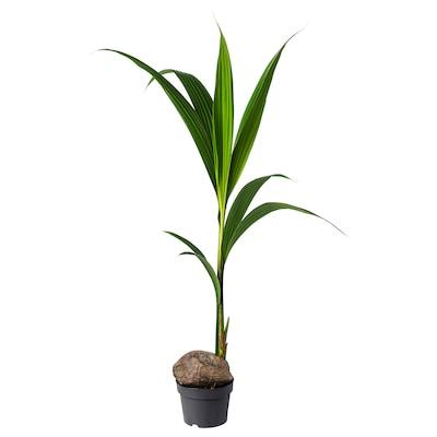 COCOS NUCIFERA Plante en pot, palmier coco, 19 cm