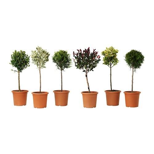conifer plante en pot ikea. Black Bedroom Furniture Sets. Home Design Ideas
