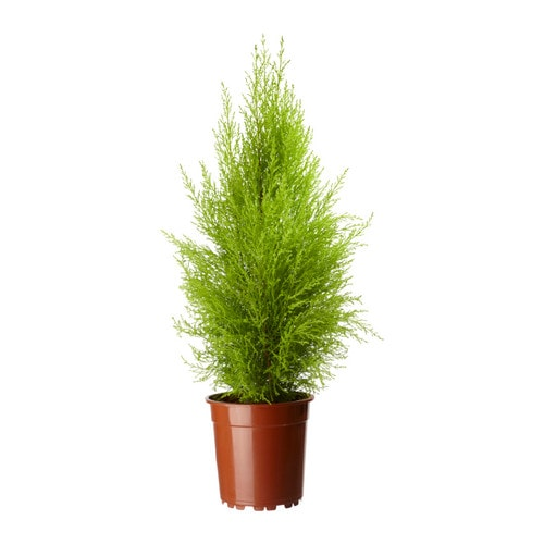 cupressus macrocarpa plante en pot ikea. Black Bedroom Furniture Sets. Home Design Ideas