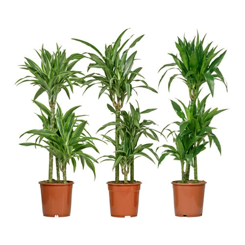 dracaena deremensis plante en pot ikea. Black Bedroom Furniture Sets. Home Design Ideas