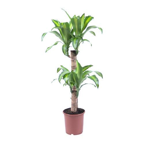 Dracaena massangeana plante en pot ikea - Plantas de plastico ikea ...