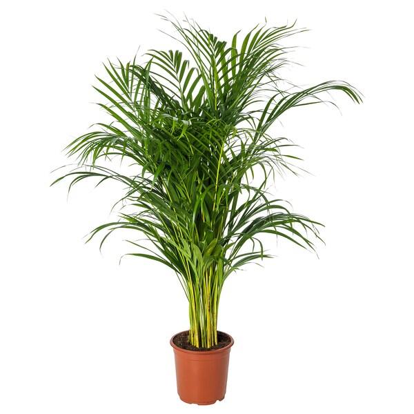 DYPSIS LUTESCENS Plante en pot, arec, 21 cm