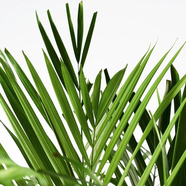 IKEA DYPSIS LUTESCENS Plante en pot
