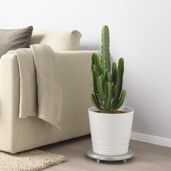 EUPHORBIA ACRURENSIS Plante en pot, 24 cm