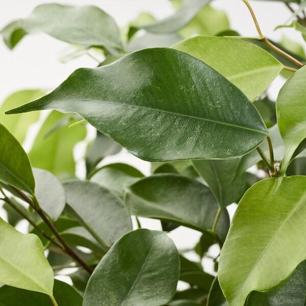 FICUS BENJAMINA Plante en pot, figuier pleureur diverses espèces, 24 cm