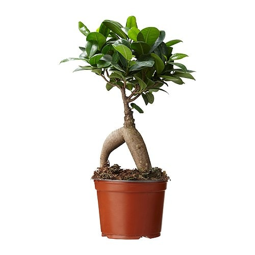 ficus microcarpa ginseng plante en pot ikea. Black Bedroom Furniture Sets. Home Design Ideas
